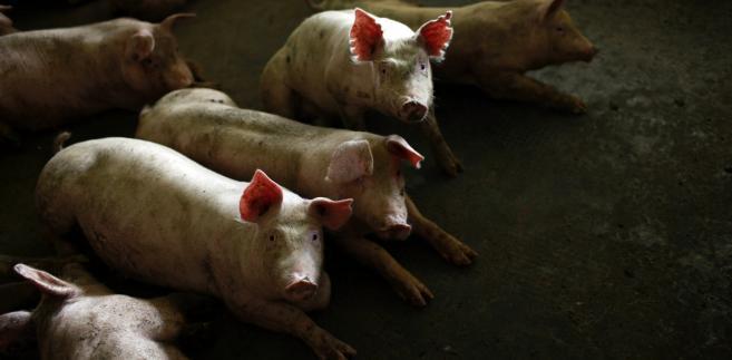 Świnie na farmie w Chinach