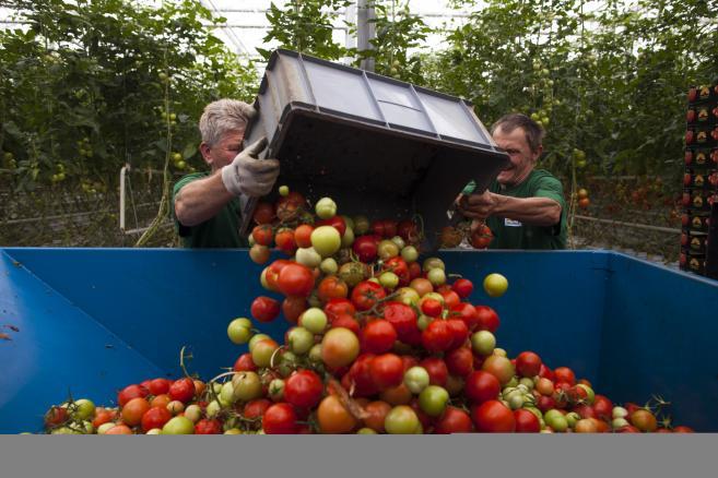 Polskie pomidory