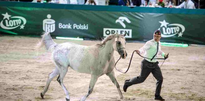 Klacz Sefora ze stadniny w Janowie Podlaskim została sprzedana za 300 tys. euro, podczas aukcji Pride of Poland w Janowie Podlaskim, 14 bm., gdzie od od piątku trwa Święto Konia Arabskiego. Sefora stała się najdrożej sprzedanym koniem, po tym, jak jeden z licytujących wycofał się z kupna klaczy Emiry. Pierwsza cena za Emirę wynosiła 550 tys. euro, w powtórzonej licytacji udało się uzyskać 225 tys. euro. (zuz) PAP/Wojciech Pacewicz